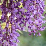 Глициния — цветок удивительной красоты