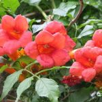 Уход и выращивание цветка кампсис