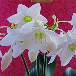 Как ухаживать заэухарисом, ипочему ядовитый цветок советуют ставить вдетской комнате