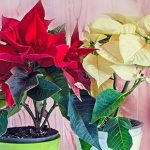 Как ухаживать запуансетией, чтобы она «зажглась» кРождеству