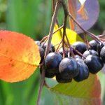 Какими свойствами обладает черноплодка?