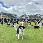 В Австралии установили рекорд по количеству колли, собранных в одно время в одном месте