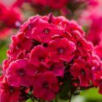 Флоксы — роскошные цветы для сада