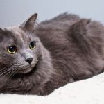 Нибелунг — кошка с сильным характером