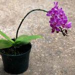 Как ухаживать замильтонией, ичем отличаются «анютины глазки» отдругих орхидей