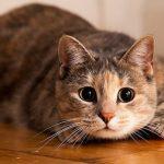 Самые популярные породы короткошерстных кошек