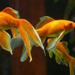Как ухаживать за золотой рыбкой?