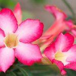 Как ухаживать за адениумом и подружиться с «пустынной розой»