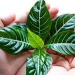Как ухаживать заафеландрой: сложности выращивания капризного «простого мужчины»