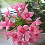 Как ухаживать забувардией, нежным цветком стонким жасминовым ароматом